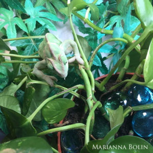 Sweet Pea- a Veiled chameleon with MBD