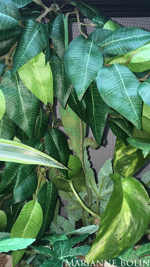veiled chameleon climbing cage wall