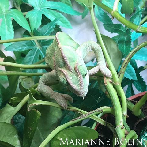 Veiled Chameleon with MBD