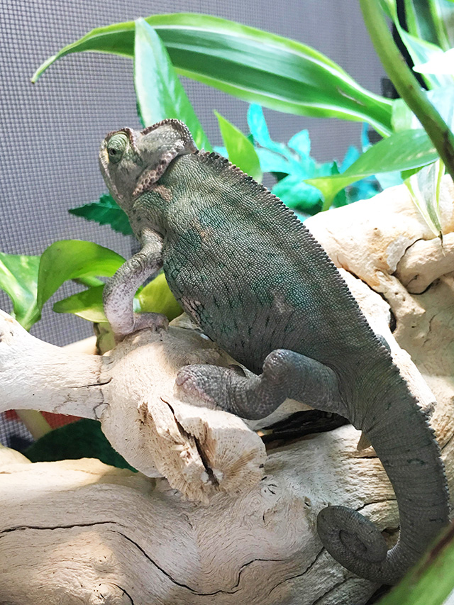 Sweet Pea Veiled Chameleon with MBD