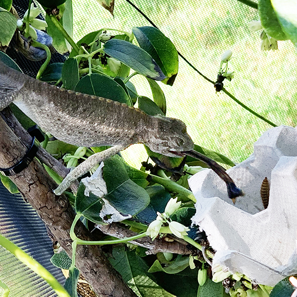 Chameleon eating BSF
