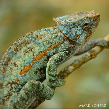Calumma ambreense chameleon