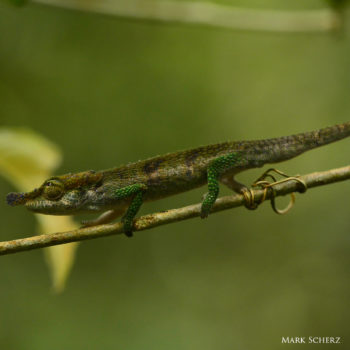 Calumma linotum