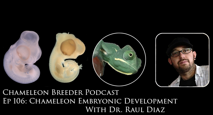 Veiled Chameleon Embryonic Development