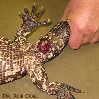 lizard prolapse