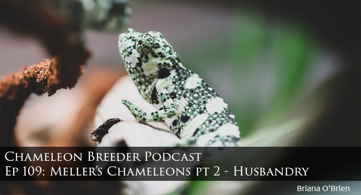 baby meller's chameleon