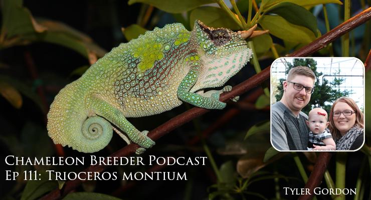 Trioceros montium, the Mountain Chameleon