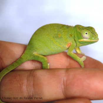 Furcifer minor female 3