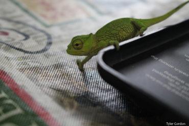 Baby Trioceros montium Mountain Chameleon