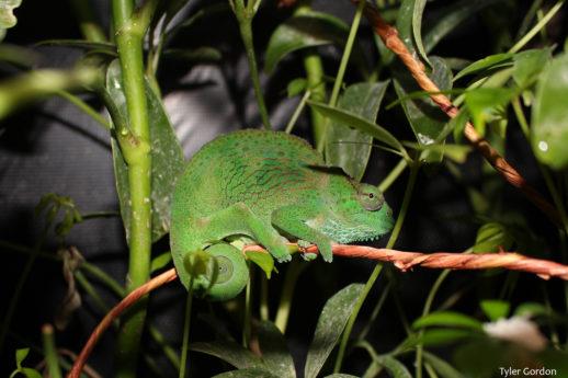 Female Trioceros montium Mountain Chameleon