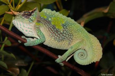 male trioceros montium Mountain Chameleon