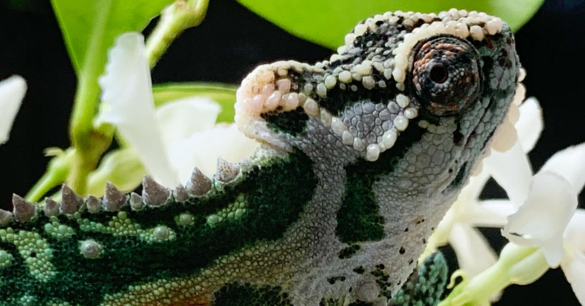 Ep 119 Are Chameleons Good Pets Chameleon Breeder Podcast