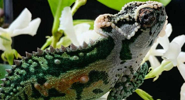 Are Chameleons Good Pets?