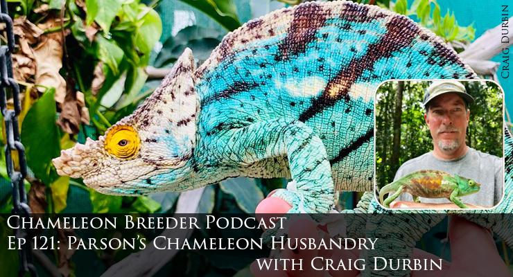 Parson's Chameleon Husbandry