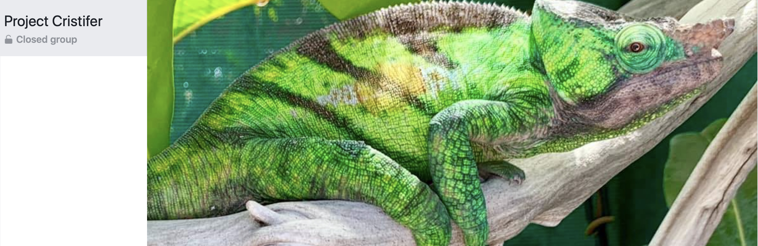 Parsons cristifer chameleon Facebook group