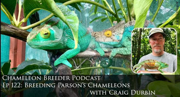 Parson's Chameleon Breeding